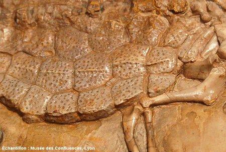 Détail des plaques dermiques d'un Crocodileimus robustus, crocodile du Kimméridgien de Cerin (Ain)