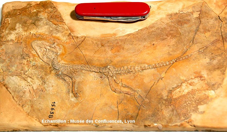 Vue d'ensemble d'un Alligatorellus beaumonti, petit crocodile du Kimméridgien de Cerin (Ain)