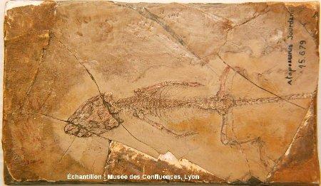 Exemplaire presque complet d'Atoposaurus jourdani, tout petit crocodile du Kimméridgien de Cerin (Ain)