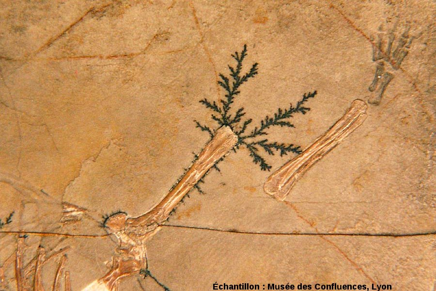 Dendrites d'oxyde de manganèse autour d'un humérus d'Alligatorellus beaumonti, crocodile du Kimméridgien de Cerin (Ain)