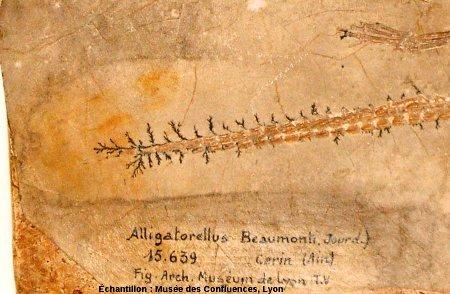 Dendrites d'oxyde de manganèse autour de vertèbres caudales d'Alligatorellus beaumonti, crocodile du Kimméridgien de Cerin (Ain)