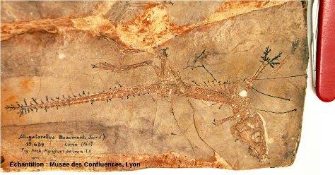 Vue d'ensemble d'un Alligatorellus beaumonti, crocodile du Kimméridgien de Cerin (Ain)