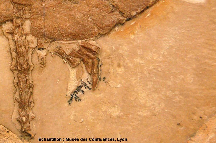 Dendrite sur la patte arrière d'Idiochelys fitzengeri, tortue du Kimméridgien de Cerin (Ain)