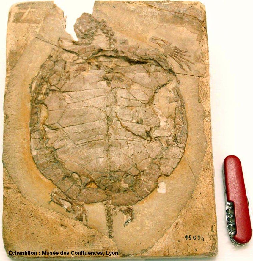 Vue d'ensemble d'un spécimen d'Idiochelys fitzengeri, tortue du Kimméridgien de Cerin (Ain)