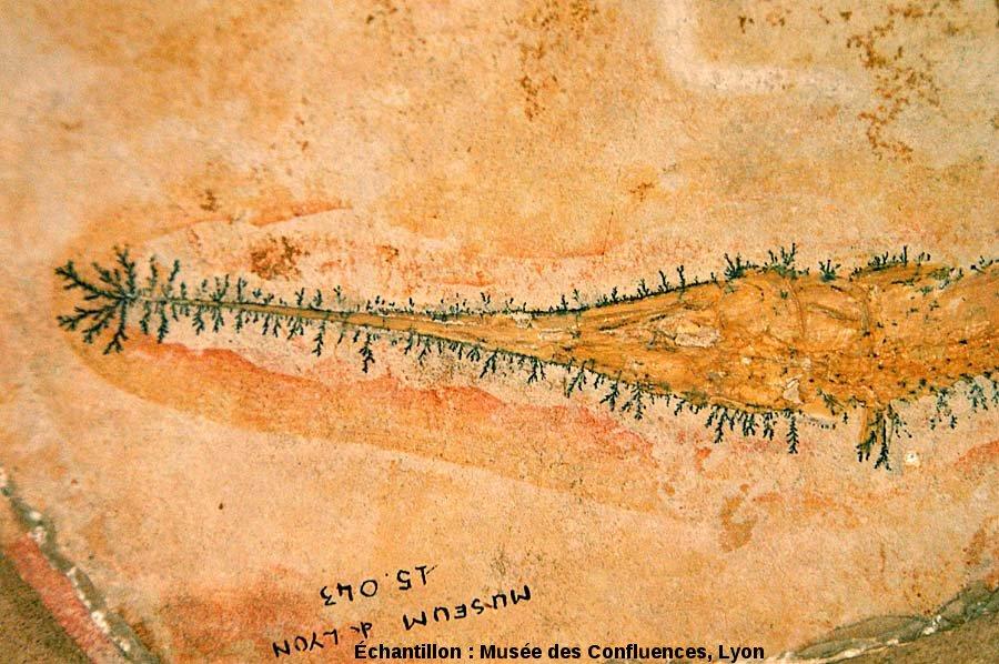 Dendrites d'oxydes de manganèse autour de la tête et du rostre de Belonostomus tenuirostris, Actinoptérygien non téléostéen du Kimméridgien de Cerin (Ain)