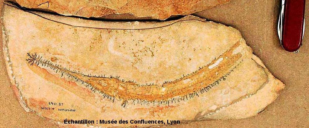 Dendrites d'oxydes de manganèse autour du corps d'un Belonostomus tenuirostris, Actinoptérygien non téléostéen du Kimméridgien de Cerin (Ain)