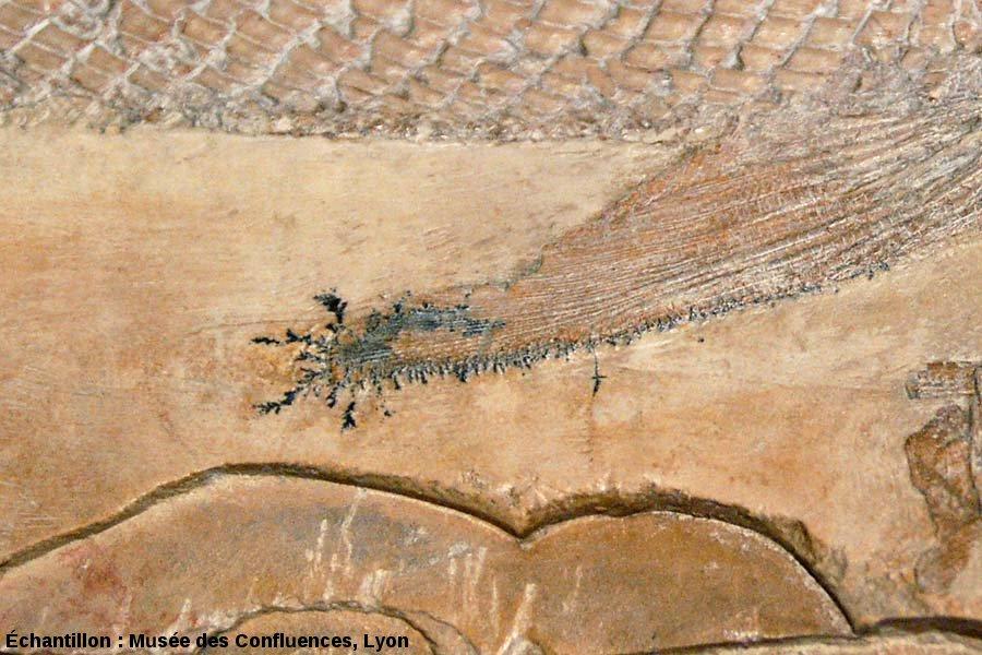 Dendrites d'oxydes de manganèse autour de la nageoire pectorale d'un Eugnatus praelongus, Actinoptérygien non téléostéen du Kimméridgien de Cerin (Ain)