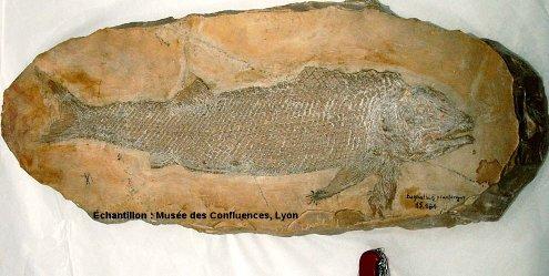 Vue d'ensemble d'un Eugnatus praelongus, Actinoptérygien non téléostéen du Kimméridgien de Cerin (Ain)