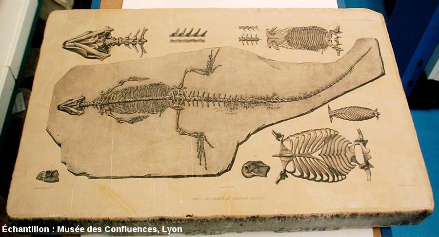 Plaque de calcaire lithographique de Cerin (Ain) ayant servi de matrice pour des reproductions de planches de dessins de fossiles