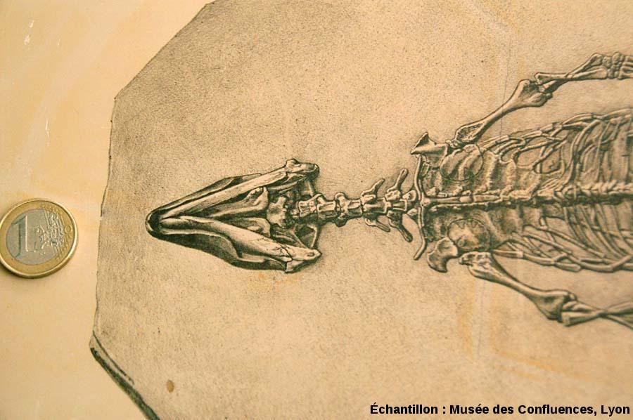 Détail du dessin de la tête de Sapheosaurus thiollieri, sur plaque de calcaire lithographique de Cerin (Ain)