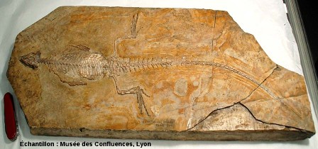 Fossile du Sapheosaurus thiollieri entier (Rhynchocéphale provenant de Cerin, Ain) ayant servi de modèle à la plaque de la figure 1