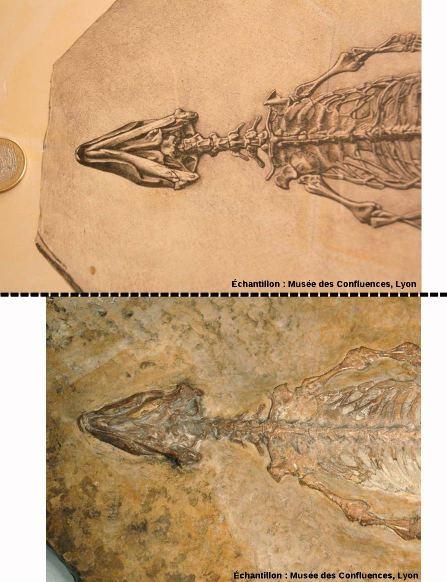 Montage original / dessin de Sapheosaurus thiollieri, Rhynchocéphale de Cerin, Ain
