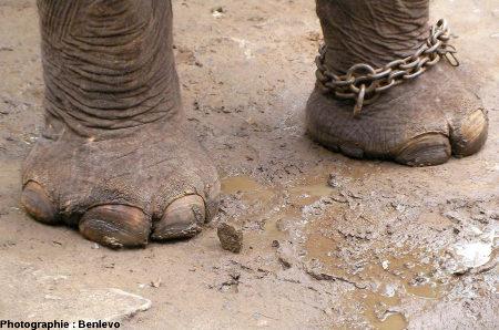 Analogie actuelle de la morphologie des pattes de sauropodes: des pattes d'éléphant (ici, d'Asie)