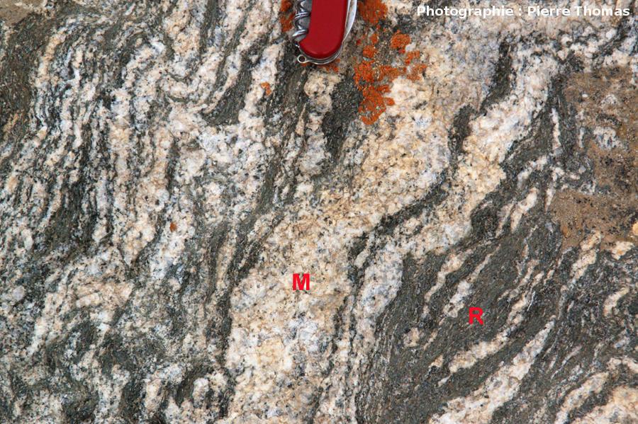 Début de séparation entre magma granitique (M) et résidu surmicacé (R) dans une migmatite de l'Altaï Mongol