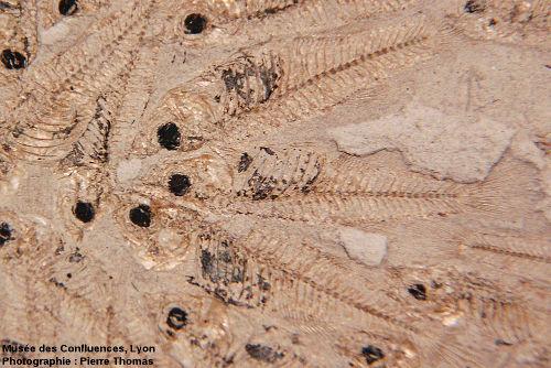 Plaque de calcaire marneux exceptionnellement riche en fossiles de Lebias cephalotes, poisson lacustre de la famille des Cyprinodontidae, Oligocène terminal du bassin d'Aix en Provence