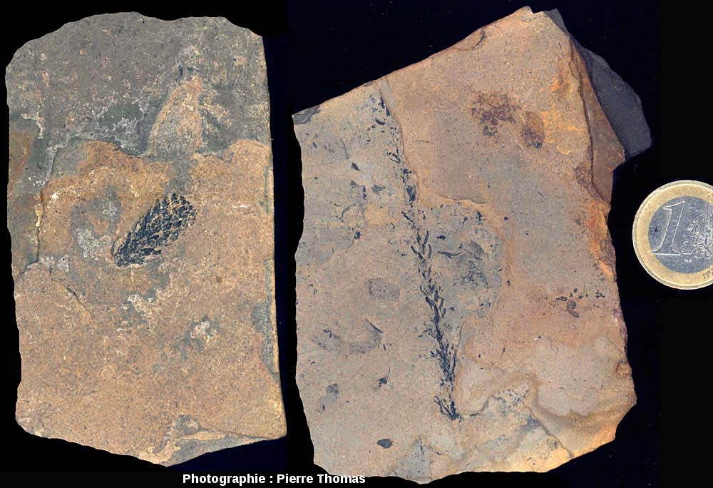 Fossile de fructification et de rameau d'un conifère, Walchia piniformis probable, Autunien (Permien basal) du bassin de Lodève, carrière de Loiras, Le Bosc, Hérault