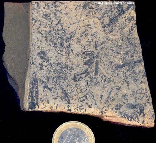 Exemple de débris végétaux peu déterminables que l'on trouve dans les pélites du Permien basal du bassin de Lodève, carrière de Loiras, Le Bosc, Hérault