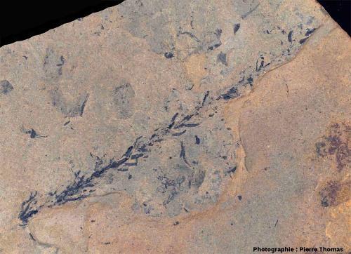 Détail de rameau de conifère, Walchia piniformis probable, carrière de Loiras, Le Bosc, Hérault