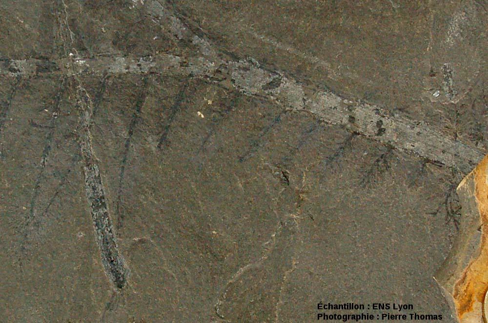 Détail de branche de conifère du Permien basal, Walchia piniformis probable, carrière de Loiras, Le Bosc, Hérault