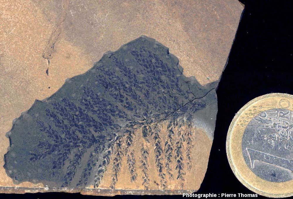 Partie terminale d'un rameau de Lebachia sp., conifère du Permien basal, carrière de Loiras, Le Bosc, Hérault