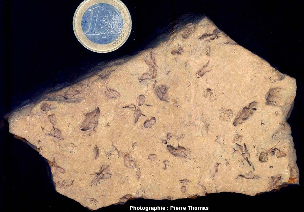 Échantillon de pelites permiennes de Loiras montrant des pseudomorphoses, vue d'une surface de stratification