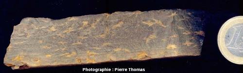 Échantillon de pelites permiennes de Loiras montrant des pseudomorphoses, vue en coupe