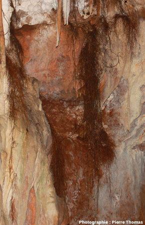 Vue verticale du centre de la figure1, montrant divers aspects des chevelus racinaires, grotte du Bosc, Saint-Antonin Noble-Val, Tarn et Garonne