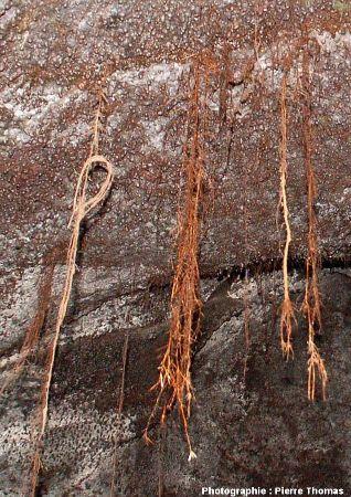 Racines débouchant dans le tunnel de lave de Thurston, Thurston Lava Tube), Hawaï