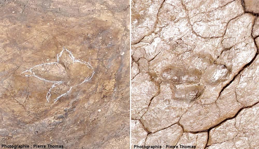 Comparaison des deux types d'empreintes de théropode, séparées de 20cm dans la pile stratigraphique, trouvées à Plagne (Ain)