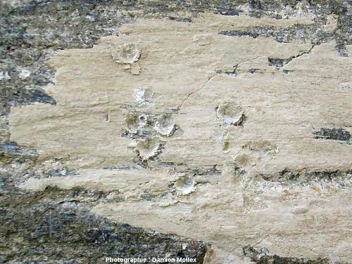 Un placage de farine glaciaire ayant reçu des coups de marteau