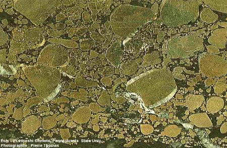 Zoom sur la partie centrale de l'échantillon de conglomérat à galets de pyrite, Archéen du Witwatersrand, Afrique du Sud
