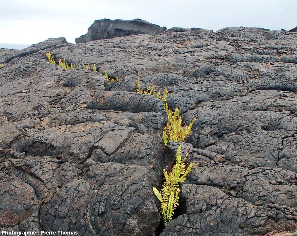 Fissure envahie par des fougères, affectant la surface d'une coulée de basalte pa hoe hoe, Kilauea (Hawaii)