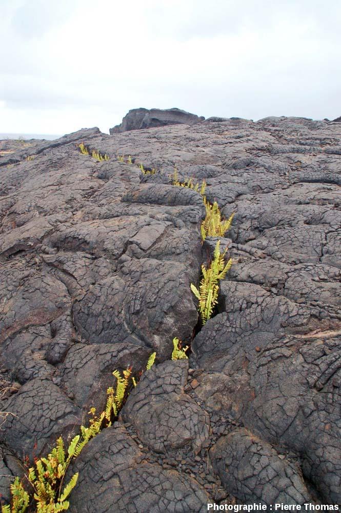 Vue globale d'une fissure envahie par des fougères, basalte pa hoe hoe, Kilauea (Hawaii)