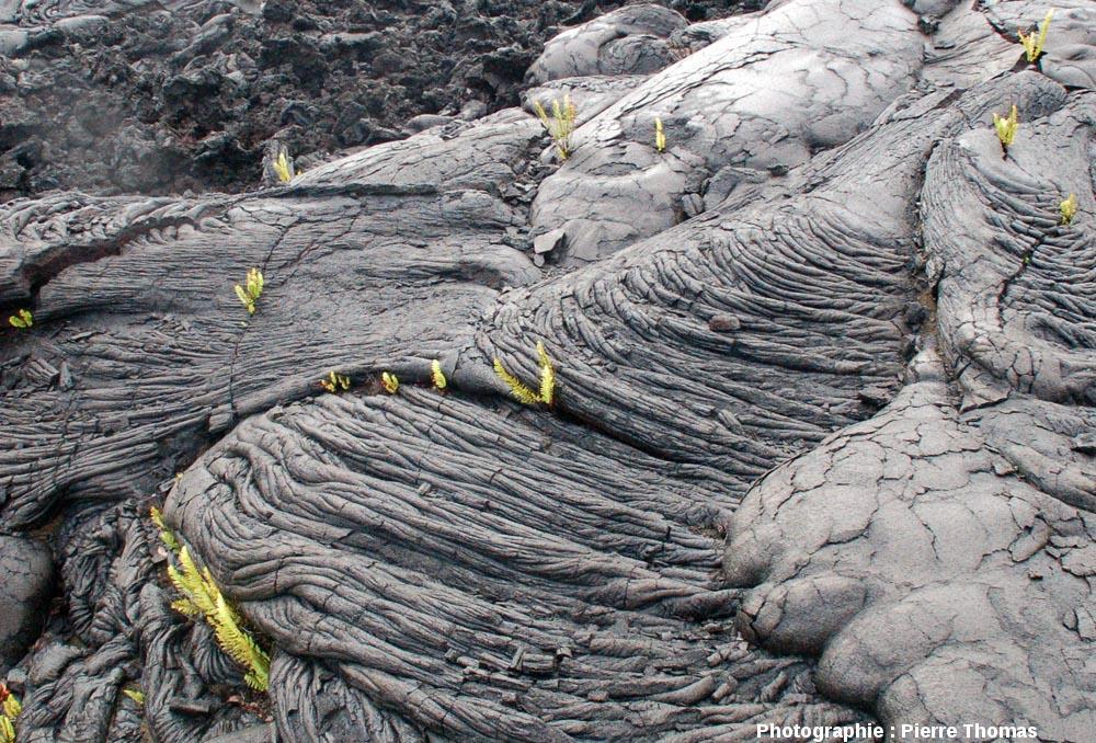 Une surface cordée montrant les sites privilégiés d'implantation des fougères, flanc Sud du Kilauea (Hawaii)