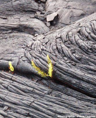 Fougères implantées dans un repli de coulée cordée, flanc Sud du Kilauea (Hawaii)