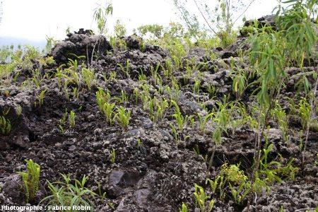 Surface d'une coulée de lave de type aa, île de La Réunion, quelque part dans l'Enclos