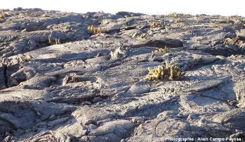 Coulée de lave de type pa hoe hoe en voie de colonisation par des cactus, côte Nord de l'île de Fernandina, archipel des Galapagos, Équateur