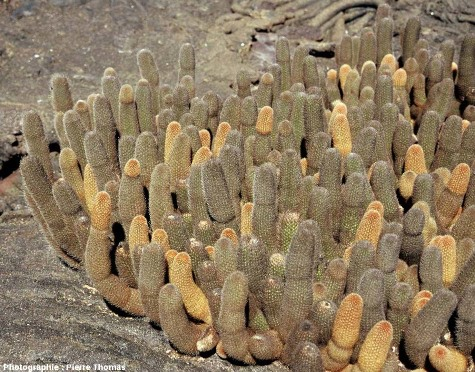 Touffe de cactus poussant dans des fractures et des anfractuosités des laves cordées, côte Nord de l'île de Fernandina, archipel des Galapagos, Équateur