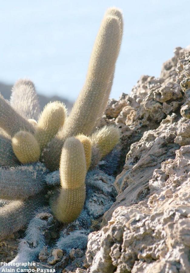 Cactus colonisant un cône de scories, île Bartolomé, archipel des Galapagos, Équateur