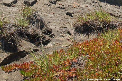 Végétation pionnière et érosion, île de Faial, Açores