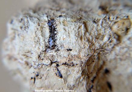 Mini-gouttes de lussatite (1mm de diamètre) dans une empreinte de racine remplie de bitume, Oligocène terminal / Miocène basal de Limagne