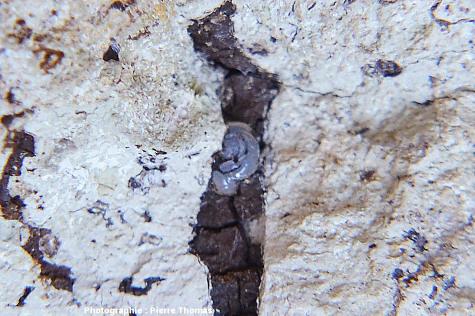 Gouttes de lussatite à structure complexe dans une empreinte de racine remplie de bitume, Oligocène terminal / Miocène basal de Limagne