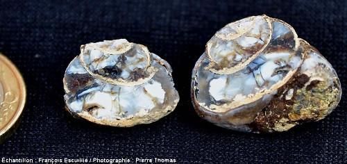 Deux moitié d'un Helix cassé en deux, dont la coquille subsiste, et dont la cavité interne a été entièrement remplie de lussatite
