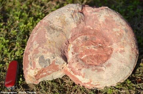 Ammonite de 20cm de diamètre, Toarcien - Aalénien inférieur de la région lyonnaise