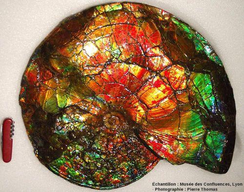 Ammonite nacrée de la Bearpaw formation, formation du Crétacé supérieur de l'Alberta (Canada)