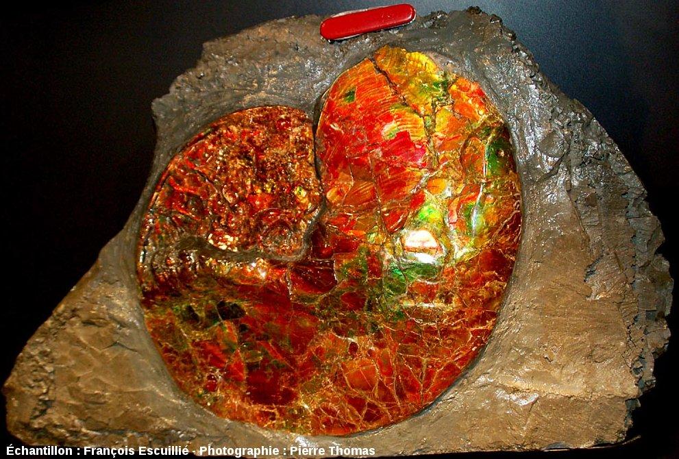 Une autre ammonite nacrée de la Bearpaw formation, formation du Crétacé supérieur de l'Alberta (Canada)