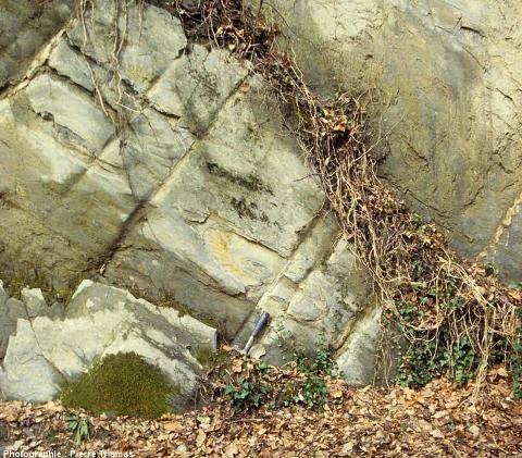 Affleurement à ammonite déformée dans le Jurassique inférieur (Lias) de Champ sur Drac, région de Vizille (Isère)
