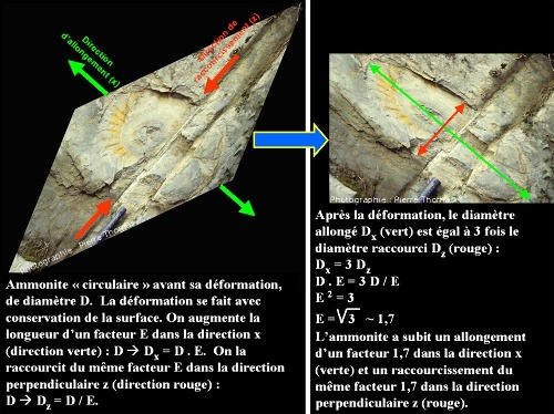 Montage montrant l'ammonite avant (à gauche) et après (à droite) rétro-déformation