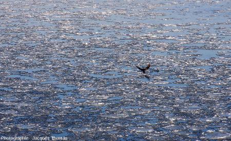 Deux grands cormorans sur la Loire gelée, Albœuf, commune de Bou, Loiret