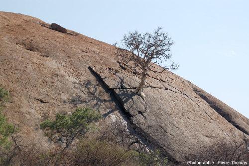 Arbre dont les racines s'insinuent dans les diaclases de l'inselberg granitique de Klein Bolayi, Afrique du Sud